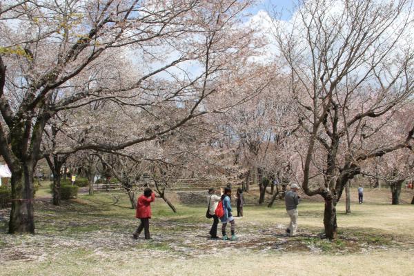 画像:桜川のサクラ(磯部の桜)