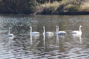 画像:大池の白鳥1