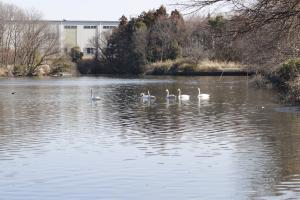 画像:大池の白鳥2