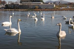 画像:大池の白鳥3