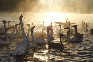 画像:桝箕ヶ池の白鳥1