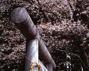 画像:境内の桜