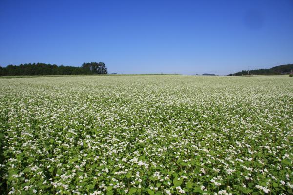 『そば畑』の画像