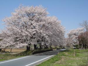 『桜の季節のりんりんロード』の画像