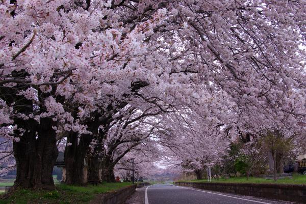 『準グランプリりんりんロード雨引休憩所-桜』の画像