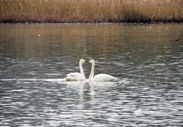 『桝池の白鳥』の画像