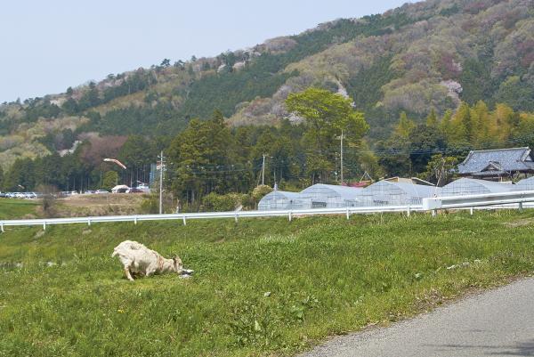 『旧岩瀬町ヤギ』の画像