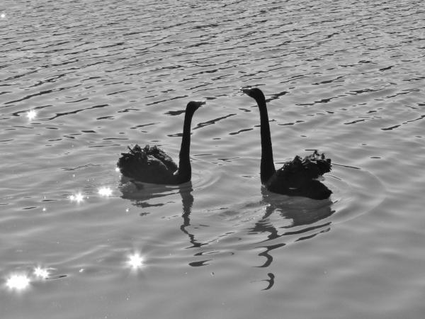 『上野沼の黒鳥』の画像
