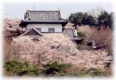 『岩瀬城桜』の画像