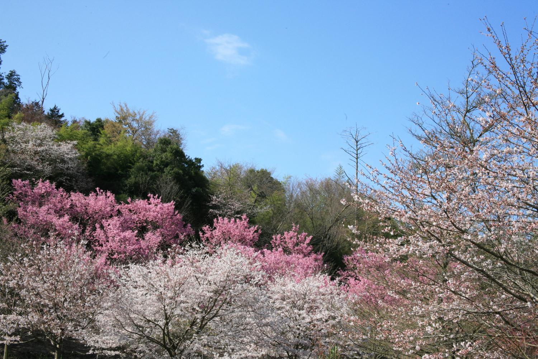 『薬王寺の桜』の画像