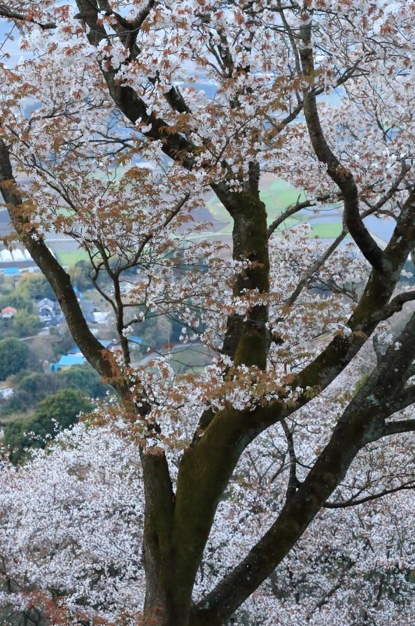 『春の桜川フォトコンテスト 最優秀賞 爛漫の山桜 高峯』の画像