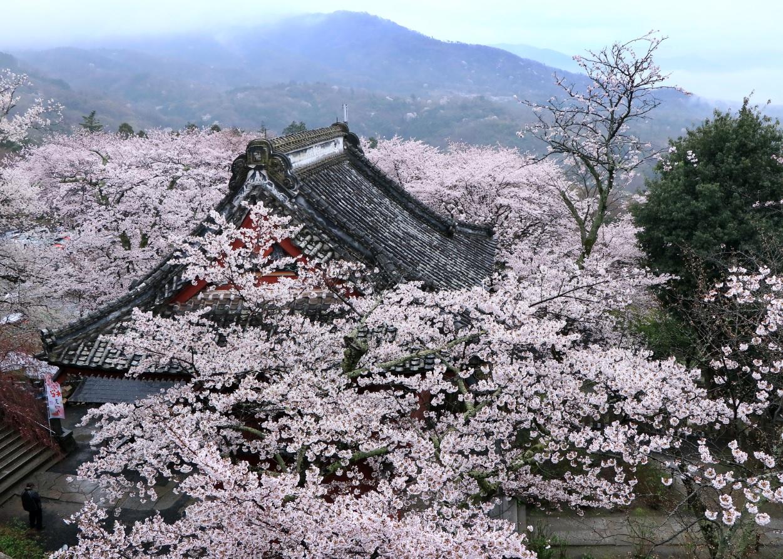 『春の桜川フォトコンテスト 特別賞 春景 雨引観音』の画像