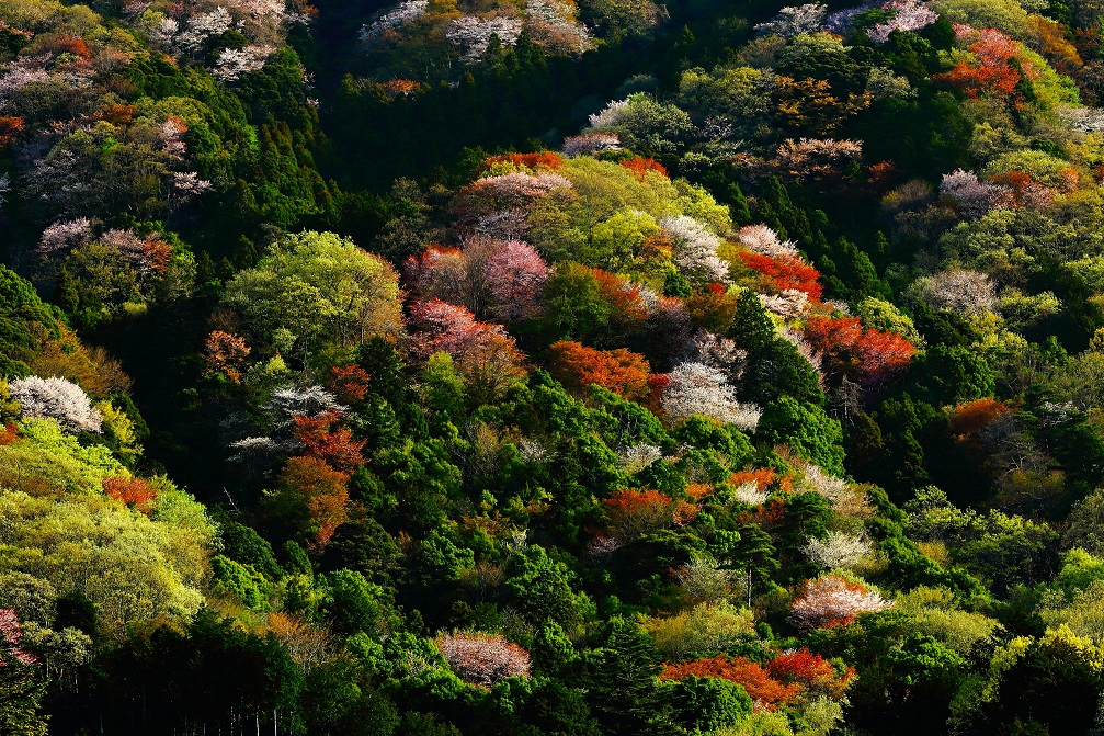 『高峯の山桜2018-2』の画像