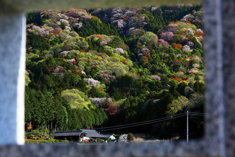 『高峯の山桜2018-3』の画像