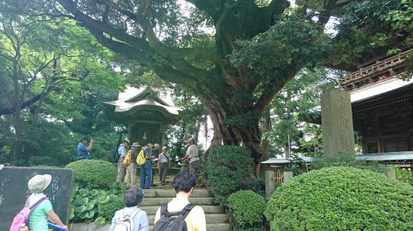 『薬王院のスダジイ』の画像